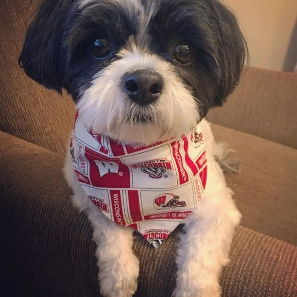 Image result for image, phto, picture, , wisconsin badger dog