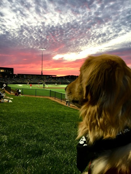 Golden from Bark in the Park